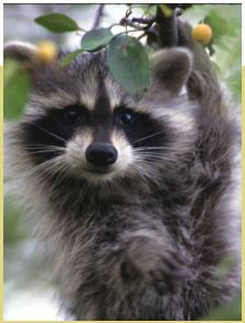Outer Banks Long Term Rental -Raccoon Prevention